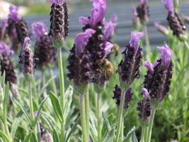 蜂に襲われるラベンダー2